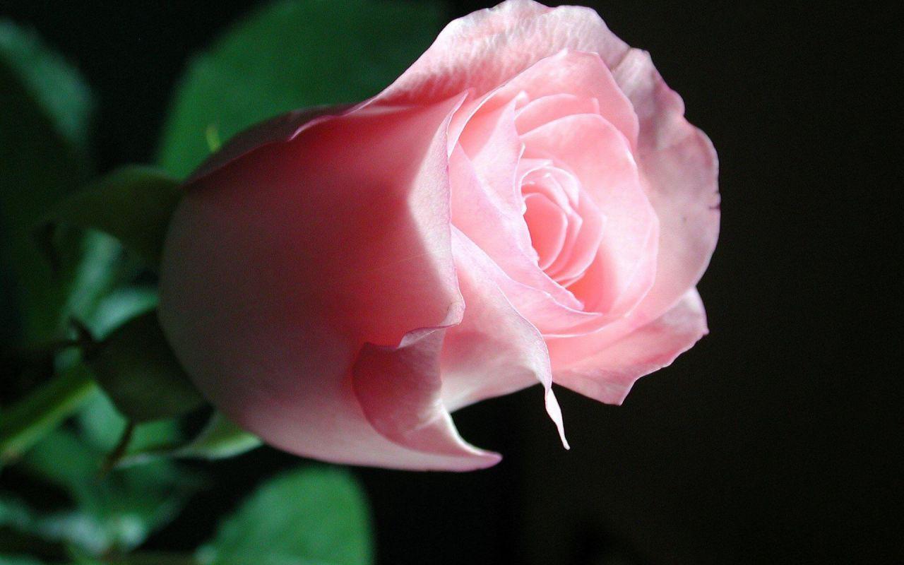 Любовь, к примеру, пахнет розой