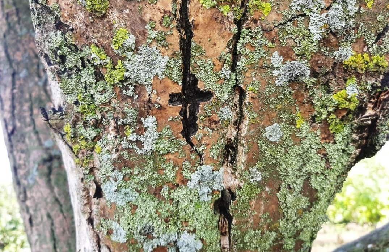 Крест на стволе орешника